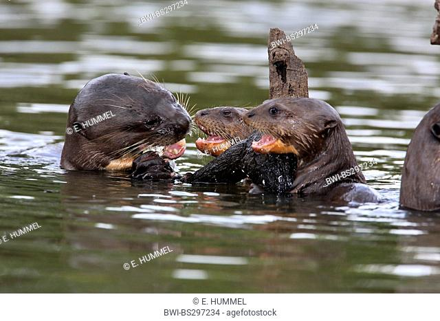 giant otter (Pteronura brasiliensis), adult and cubs, Brazil