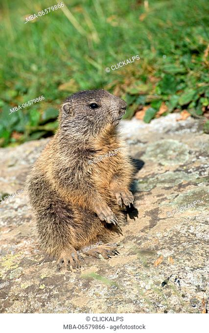 Dolomites, South Tyrol, Italy, The Alpine marmot (Marmota marmota)