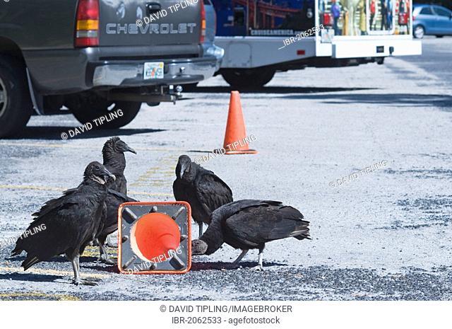 American Black Vultures (Coragyps atratus) trying to pull a traffic bollard apart in car park at Anhinga Trail, Florida, USA