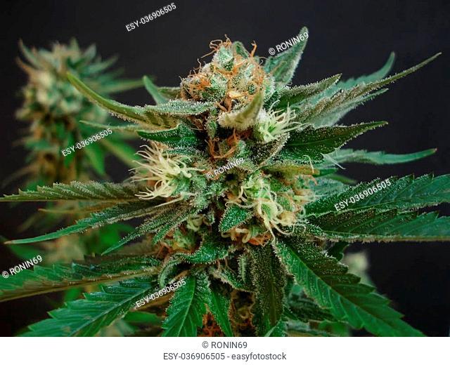 big, juicy selective plants of cannabis on a dark background closeup