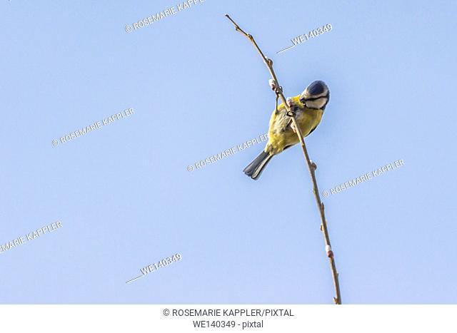 Germany, Saarland, Homburg, A blue tit picks on a branch