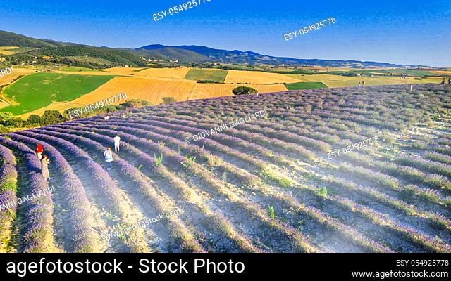 Overhead aerial view of Lavender Fields in the countryside, summer season, drone viewpoint