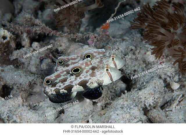 Twinspot Goby Signigobius biocellatus adult pair, swimming in reef, Arborek Jetty, Dampier Straits, Raja Ampat, West Papua, New Guinea, Indonesia