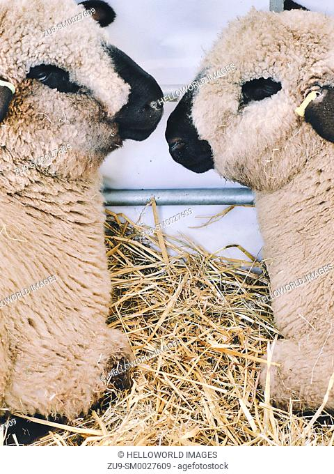 Two Hampshire Down sheep facing each other, Three Counties Show 2019, Malvern, Worcestershire, England. Originated around 1829 from cross of Southdowns and the...