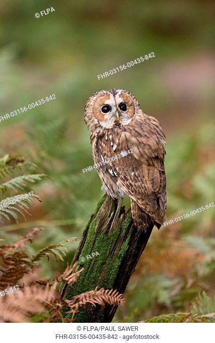 Tawny Owl (Strix aluco) adult, perched on stump amongst bracken, Suffolk, England, October (captive)