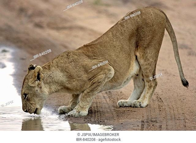 Lion (Panther leo), drinking lioness, Sabi Sand Game Reserve, South Africa
