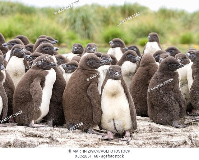 Rockhopper Penguin (Eudyptes chrysocome), subspecies western rockhopper penguin (Eudyptes chrysocome chrysocome). Colony on cliff with creche