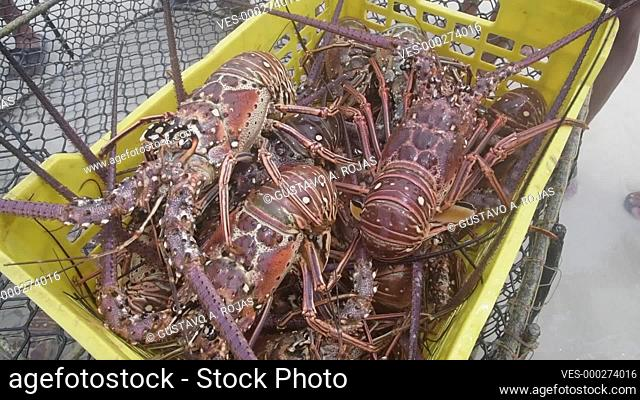Spiny Lobster, Panulirus argus fresh seafood at wet market, at caribbean, los roques venezuela