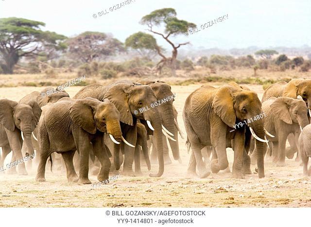 Group of elephants walking on dusty plains - Amboseli National Park, Kenya