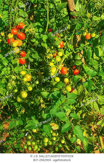 Tomatoes in the garden of the deluxe charming Les Cultures de Puygareau guesthouse, Sossay, Vienne, Poitou-Charentes, France