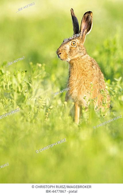 European hare (Lepus europaeus) sitting in field, Lower Austria, Austria