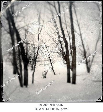 Bare trees in snowy forest