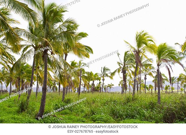 This farm grove of trees is a farming operation where coconuts are grown and harvested in Hawaii along the north shore of Oahu