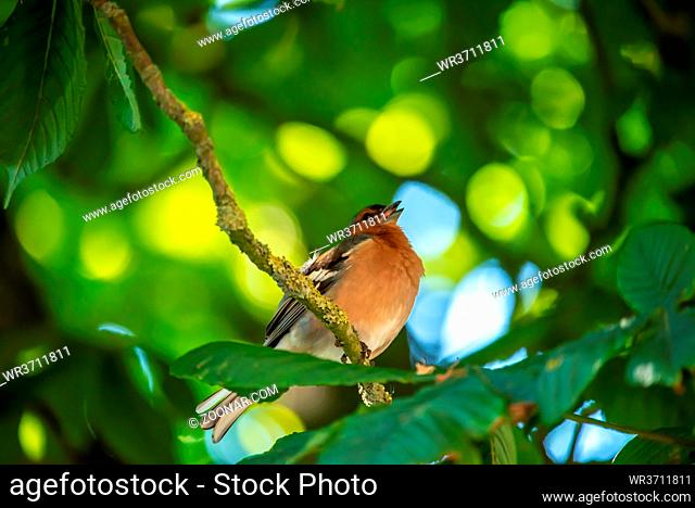 Buchfink im Kastanienbaum