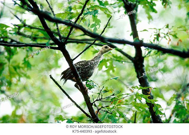 Wild turkey chick hide in trees. Pennsylvania, USA