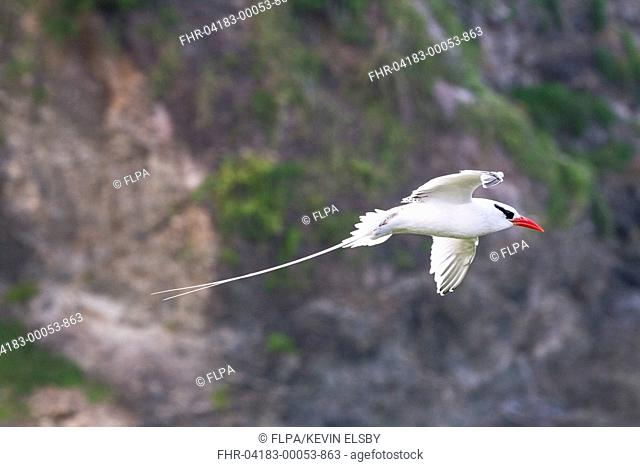 Red-billed Tropicbird (Phaethon aethereus) adult, in flight, Little Tobago, Tobago, Trinidad and Tobago, November