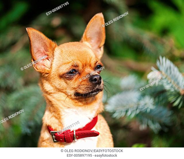 Red chihuahua dog on garden background. Selective focus