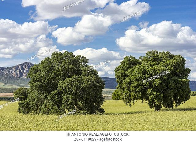 Cereal field, holm oaks (Quercus ilex) and clouds. Almansa. Albacete. Spain