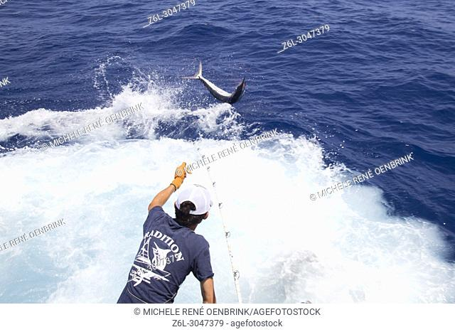 Fisherman catching and tagging blue marlin on fishing boat while Deep sea sport fishing for Blue Marlin off La Romana Punta Cana Dominican Republic