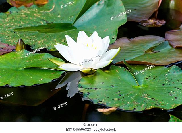 Nymphaea lotus, water lily has white petals, yellow stamens and green pads