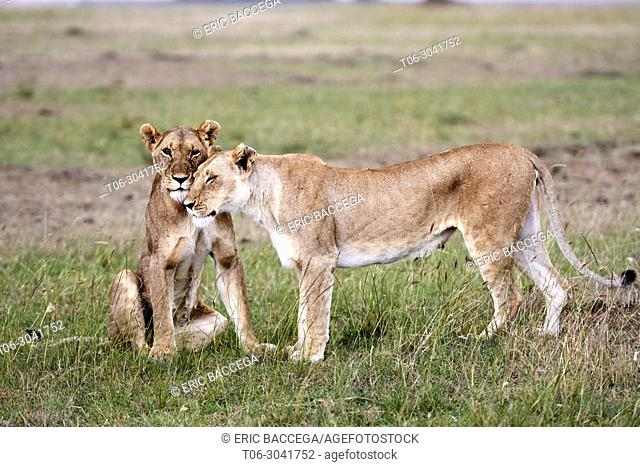 African Lion (Panthera leo) two females greeting, Masai Mara National Reserve, Kenya, Africa