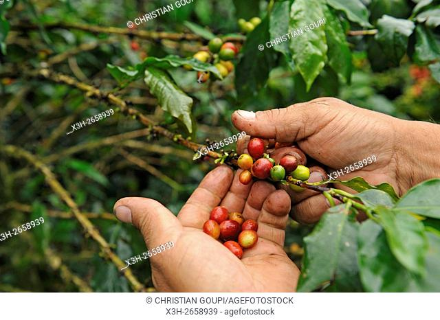 coffee producer showing the cherries in a coffee plantation in the region of Armenia, department of Quindio, Cordillera Central of the Andes mountain range