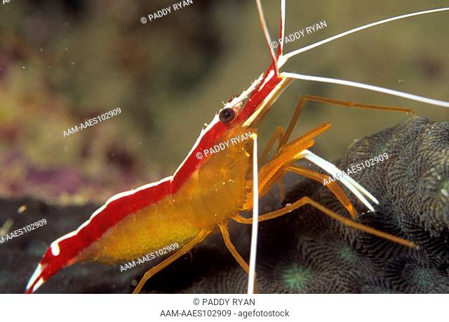 Cleaner Shrimp (Lysmata amboinensis) Fiji Islands South Pacific