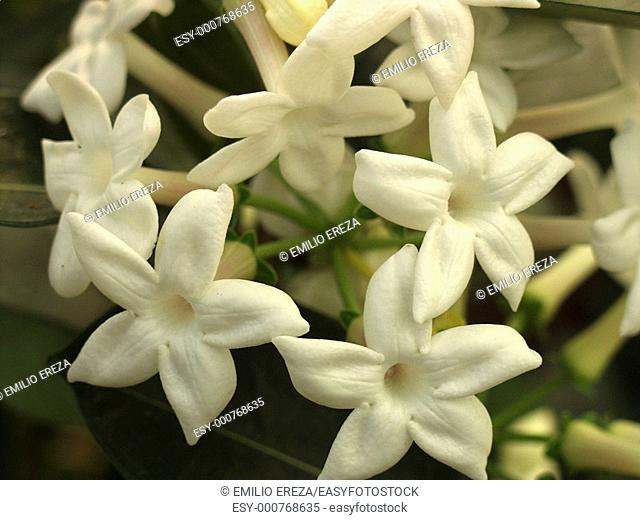 Stephanotis sp
