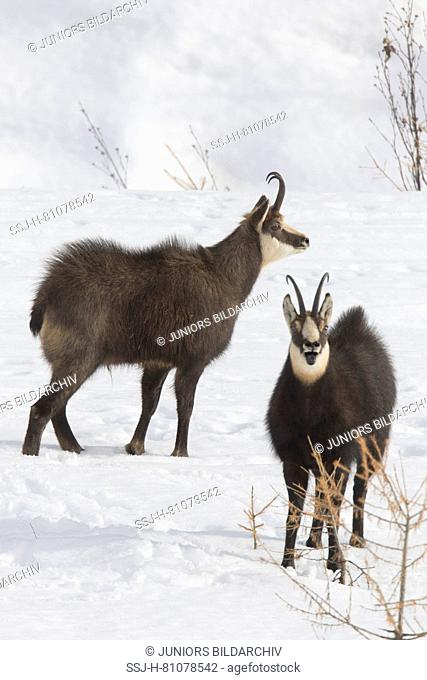 Chamois (Rupicapra rupicapra). Two males threatening each other. Alpes, Italy