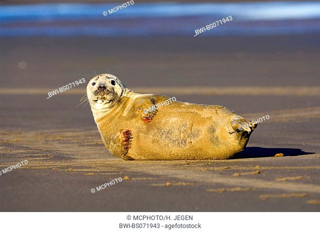 gray seal (Halichoerus grypus), lying on the beach, lifting up head and fin for thermal balance, Europe, Germany, Schleswig-Holstein, Heligoland