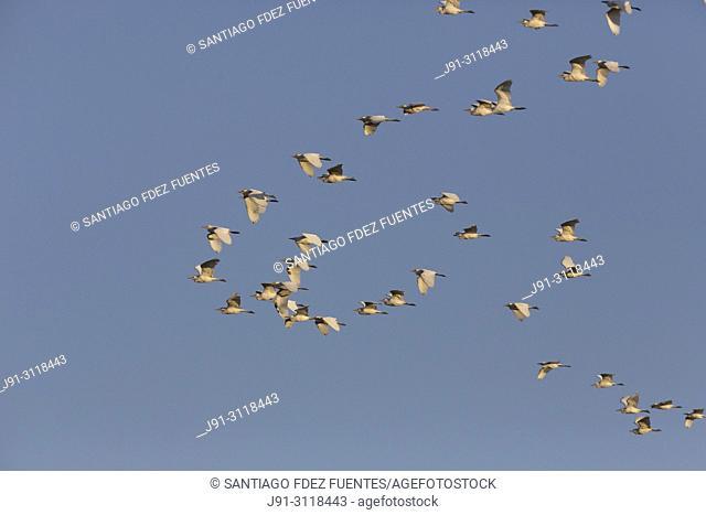 Western cattle egrets (Bubulcus ibis) in flight. Spain
