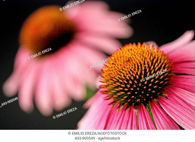 Purple coneflowers (Echinacea purpurea)