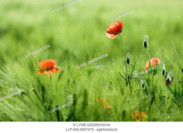 Corn Poppy, Red Poppy Papaver rhoeas in grain
