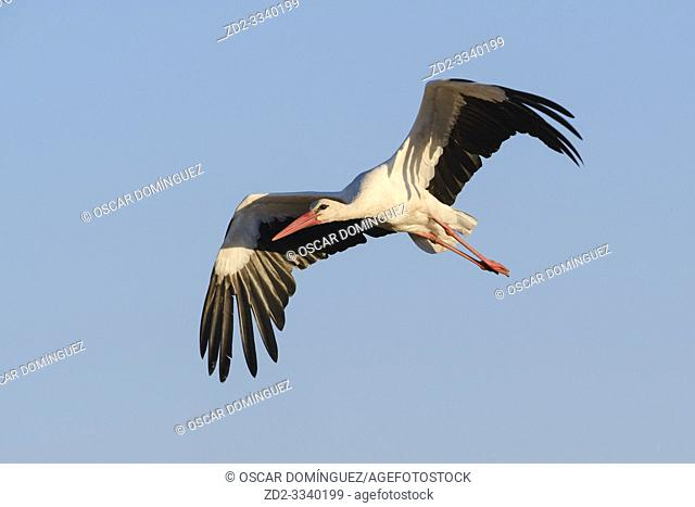 White stork (Ciconia ciconia) in flight. Extremadura. Spain