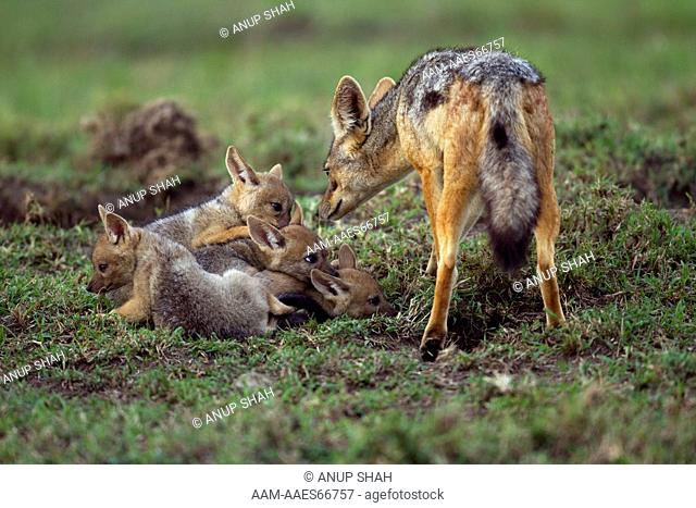 Black-backed jackal with playful pups aged 4 weeks (Canis mesomelas). Maasai Mara National Reserve, Kenya. Aug 2011