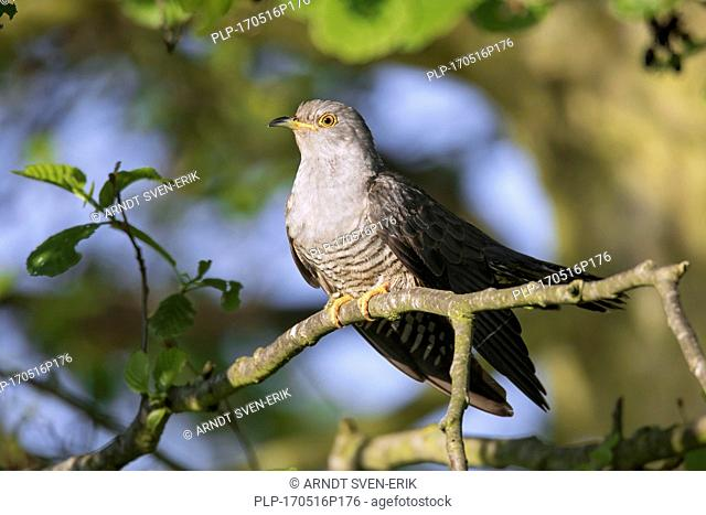 Common cuckoo (Cuculus canorus) male perched in tree in spring