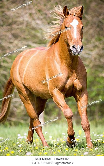 American Quarter Horse. Chestnut gelding galloping on a pasture. Germany