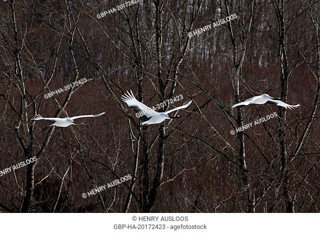Japanese crane, Red-crowned crane (Grus japonensis) adults and young flying, Japan