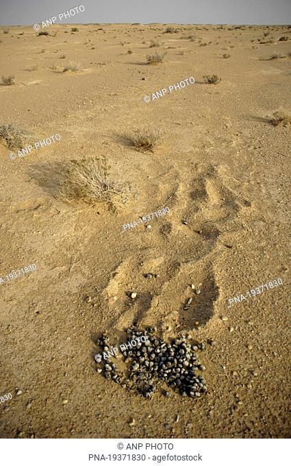 Dromedary Camelus dromedarius - Salalah, Dhofar, Oman, Asia