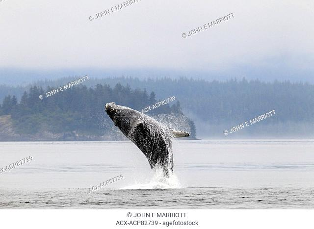 Adult humpback whale breaching in Johnstone Strait off Vancouver Island, British Columbia, Canada