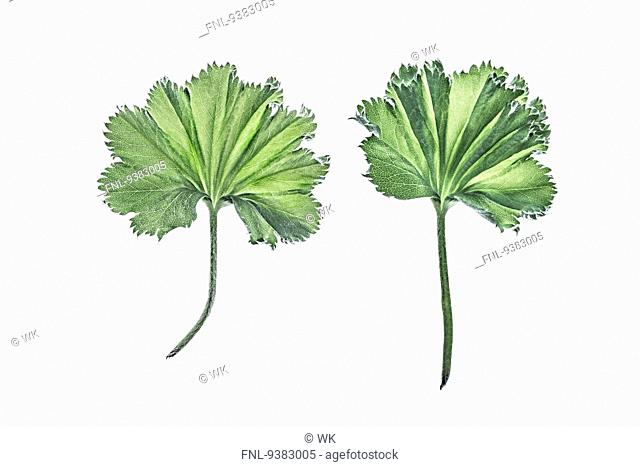 Two leaves of lady's mantle
