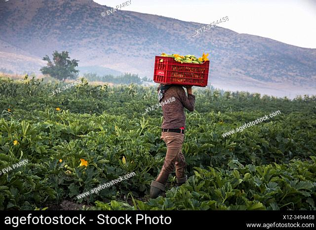 A teenage syrian refugee boy carrying zucchini in a basket at a lebanese farm in Bekaa Valley, Lebanon. . Syrian refugees fleeing from war