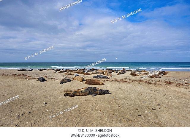 gray seal (Halichoerus grypus), lying on a beach in spring , Germany, Schleswig-Holstein, Heligoland