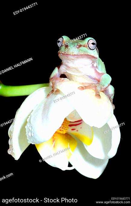 Frosch au Orchidee