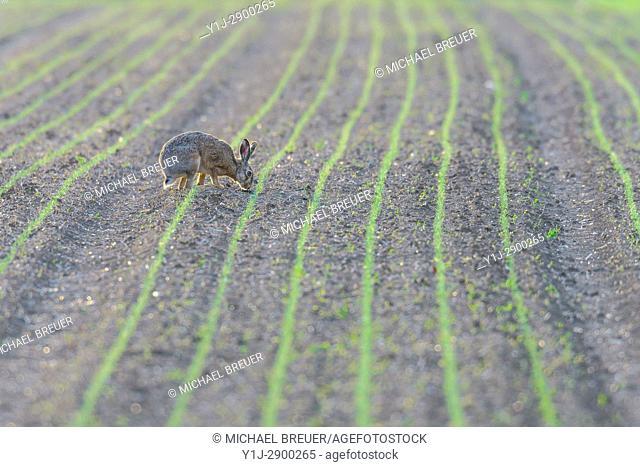 European brown hare (Lepus europaeus) on field, Springtime, Hesse, Germany, Europe