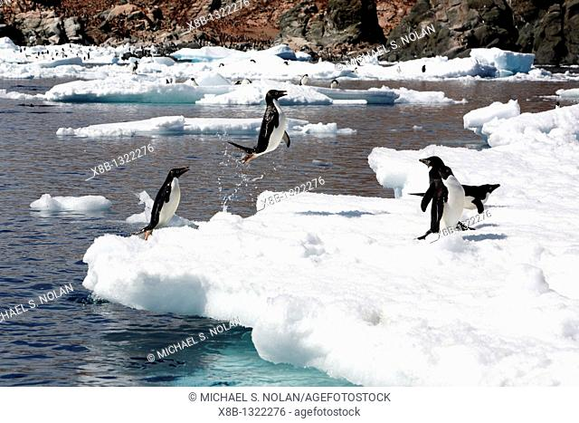 Adult Adelie penguin Pygoscelis adeliae leaping from the sea onto ice floes near Heroina Island in the Weddell Sea, Antarctica  This penguin species is totally...
