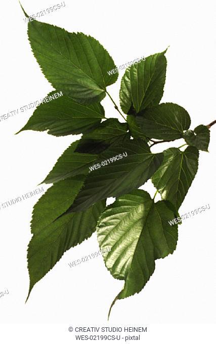 Mulberry leaves, Morus nigra
