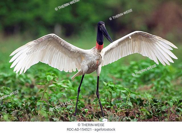 Jabiru Stork Pantanal Brazil Ephippiorhynchus mycteria Jabiru mycteria wings