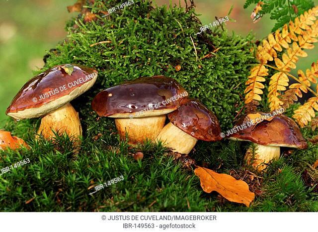 Edible Mushrooms Bay Bolete (Xerocomus badius) (Boletus badius)