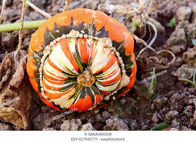 Turks Turban squash growing on the vine in a vegetable garden with distinctive green, white and orange markings on the gourd